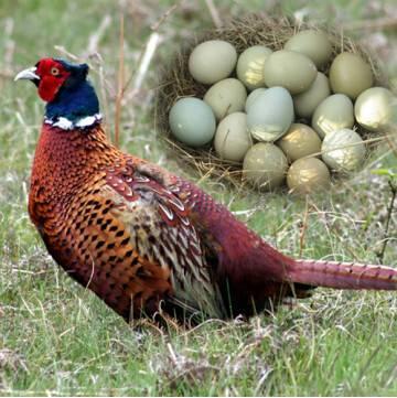 【安徽大别山特产】华之慧七彩山鸡野鸡蛋散养新鲜山鸡蛋有机食品30枚包邮