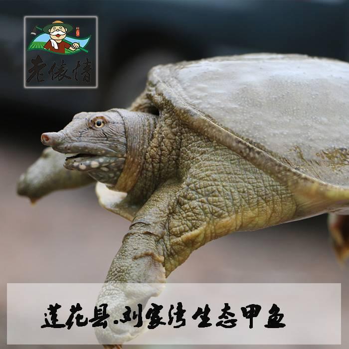 萍乡莲花县刘家湾生态活甲鱼  2斤左右  限莲花县内、萍乡城区销售