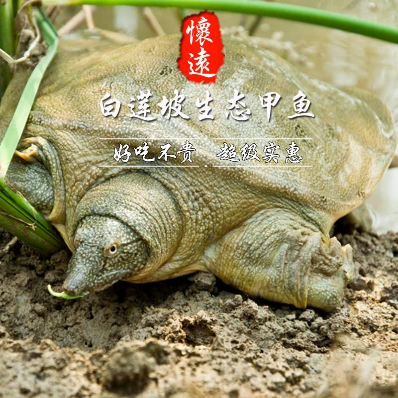 {邮乐冲量}怀远白莲坡生态甲鱼自然生长3年以上500g-600g团鱼水鱼中华鳖鲜活包邮