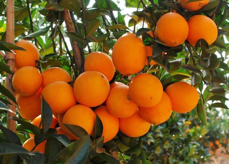 蓬安锦橙100号5斤装